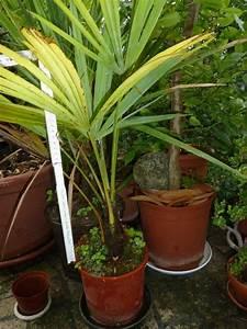 Palmen Für Den Garten : palmen k belpflanzen usw f r garten und terrasse in stuttgart sonstiges f r den garten ~ Sanjose-hotels-ca.com Haus und Dekorationen