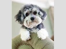 Maltipoo Puppies Rescue on Pinterest Yorkie, Shelters