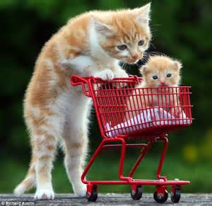 pushing cat kitten pushes tiny orphan in a trolley after its