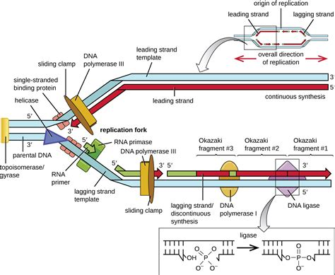 okazaki fragment dna replication online textbook chapters alyvea com