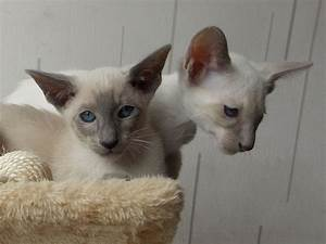 1 BLUE & 1 LILAC POINT PEDIGREE SIAMESE KITTENS ...