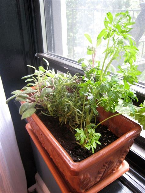 Windowsill Vegetable Garden by Growing Plants In Windowsills Edible Plants For