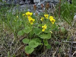 Yellow Wood Violet  Viola Biflora - Flowers