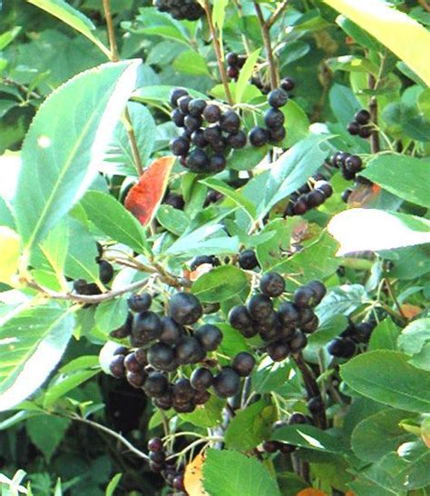 small tree with berries 49 best shrubs w berries images on pinterest shrubs evergreen shrubs and shrub