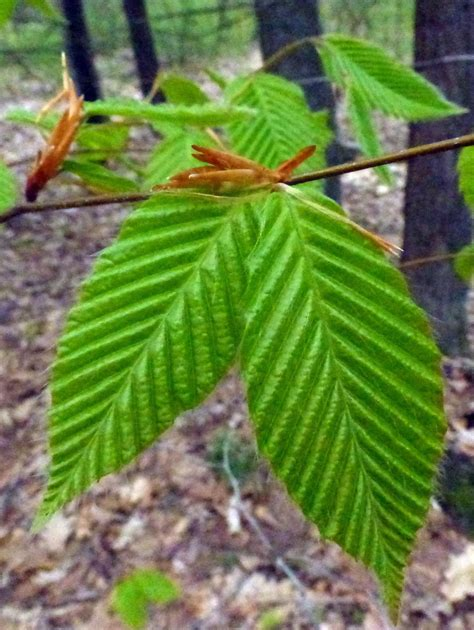 Beech leaf embodies the poetry of spring unfolding - News ...