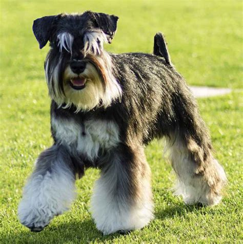 Small White Non Shedding Breeds by Small Breeds List Of All Small Dogs Small