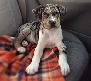 pit bull catahoula mix | For the furry children ...