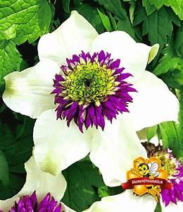 Kletterpflanzen Immergrün Winterhart : clematis 39 florida sieboldii 39 kletterpflanzen bei baldur ~ Michelbontemps.com Haus und Dekorationen