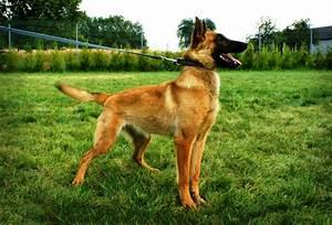 Police Dog Belgian Malinois