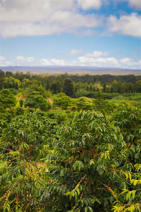 Discover a selection of 159 vacation rentals in coffees of hawaii plantation store, hoolehua that are perfect for your trip. The coffee plantation at the Ka'u Coffee Mill, in the district of Ka'u on the Big Island of ...