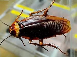 Können Kakerlaken Fliegen : kakerlaken zikaden und co diesen insekten begegnet man ~ Watch28wear.com Haus und Dekorationen