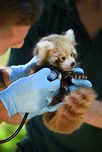 Perth Zoo Welcomes Red Panda Cub as Pandas are Rescued ...  Red