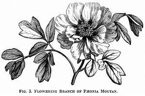 Vintage Flower Illustration Black And White