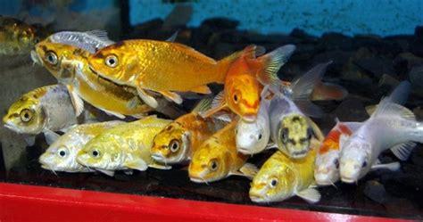 aquarium pour carpe koi les poissons de bassin