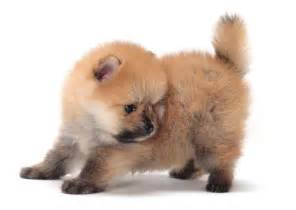 miniature dog breeds that don t shed puppies pinterest