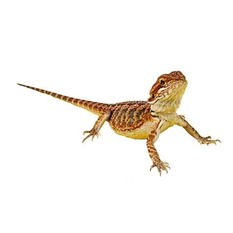 Bearded Dragons for Sale | Buy Live Bearded Dragons for ...