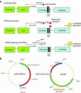 Utilization Of The Lac Operon To Generate A Positive