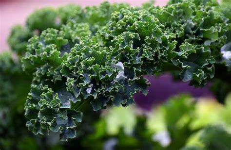 comment cuisiner le m駻ou chou kale comment bien le cuisiner aux fourneaux