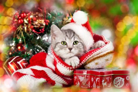 Cat Safety Tips  Christmas Safety Tips For Cats