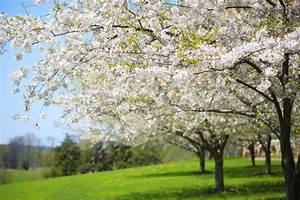 Baum Mit Blüten : baum mit wei en fr hlings bl ten der kirsche im garten stockfoto bild von bl hen kirsche ~ Frokenaadalensverden.com Haus und Dekorationen
