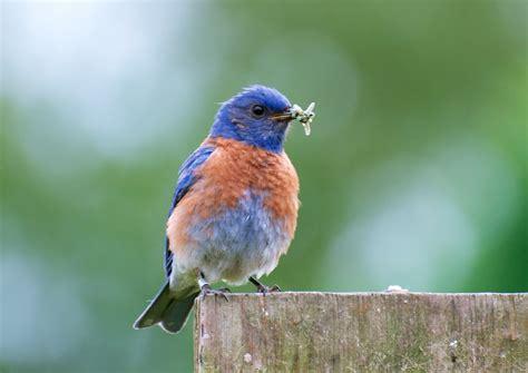 birds western bluebird