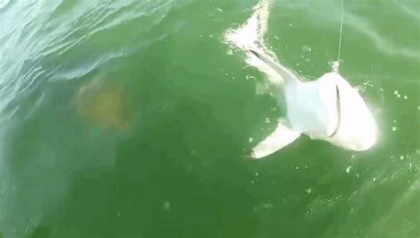 goliath grouper attacks shark  grouper