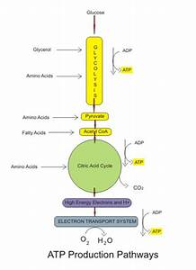Aerobic Cellular Respiration  Stages  Equation  U0026 Products