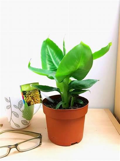 Banana Indoor Plant Tree Musaceae Tropical Ornamental