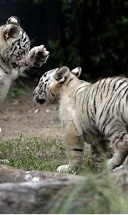Two white tiger cubs maul their new zoo keeper to death in ...