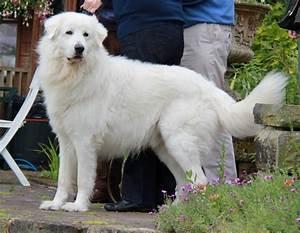 Maremma Sheepdog Info, Temperament, Training, Puppies ...