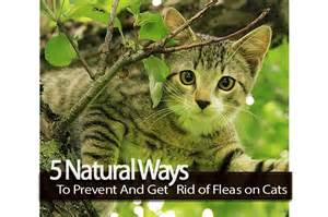 getting rid of fleas on cats 5 ways to prevent and get rid of fleas on cats