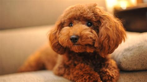 Tiny Non Shedding Dog Breeds by What Is A Chocolate Toy Poodle Reference Com