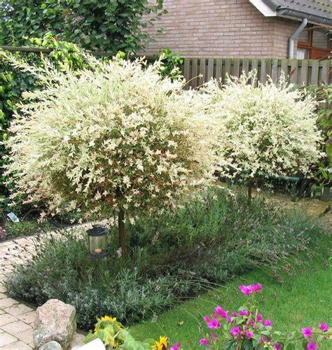 salix hakuro nishiki salix integra hakuro nishiki gluosnis sveikalapis vvvv ssss tempered balcony garden