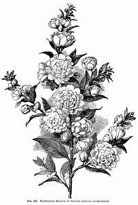 Flowering Plum Branch ~ Free Vintage Engraving   Old ...