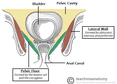 the pelvic floor structure function muscles