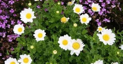 manfaat tanaman bunga krisan chrysanthemum morifolium ram