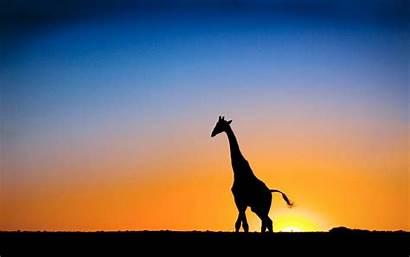 Giraffe Backgrounds Desktop Wallpapers Sunset Botswana Background