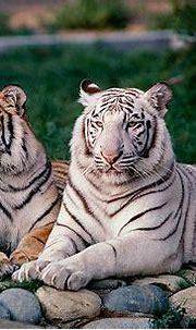TGR 09 RK0161 01 © Kimball Stock White Tiger Laying On ...