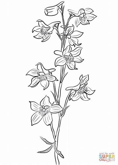 Larkspur Coloring Pages Flower Drawing Tattoo Drawings