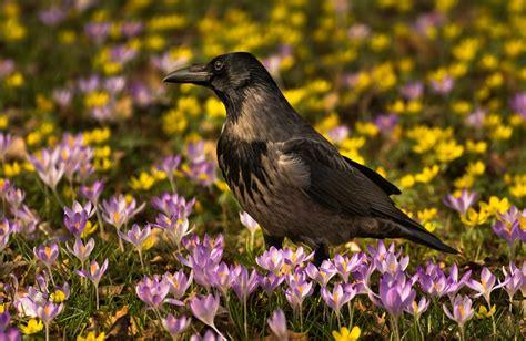 crows, Birds, Crocuses, Animals Wallpapers HD / Desktop ...