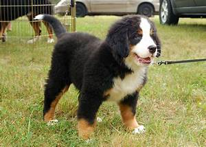 Bernese Mountain Dog - Pictures, Lifespan, Rescue ...