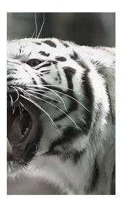 White Tiger Hd Wallpaper - WallpaperSafari | Tiger ...