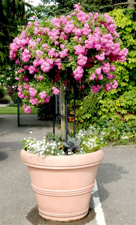 rosier tige en pot 28 images 25 best ideas about rosier en pot sur arbuste 224 fleurs