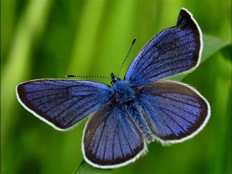 beautiful blue blue moth animals butterflies hd desktop