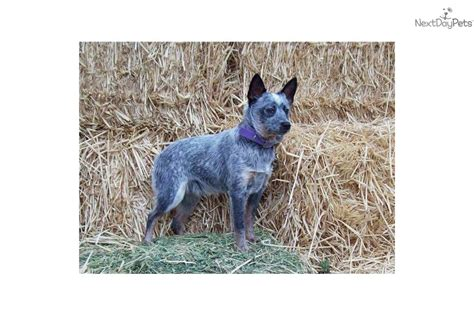 Miniature Blue Heeler Shedding by Miniature Australian Cattle Dogs Oregon Breeds Picture