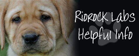 riorock labrador retrievers housebreaking puppies litters