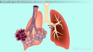 Bestseller  Respiratory System Study Guide Key