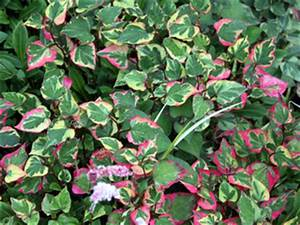 Plantes à Feuillage Persistant : plantes couvre sol pour le soleil pour l 39 ombre arbustes ~ Premium-room.com Idées de Décoration