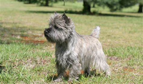 what does cairn what does cairn terrier look like dogs our friends photo blog
