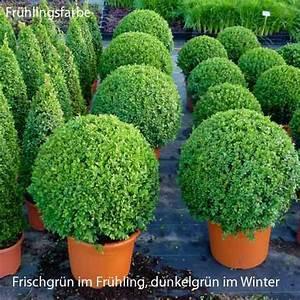 Buchsbaumkugel Künstlich 50cm : buchsbaum kugel 50 buchskugel buchs buxbaumkugel buxbaum ~ A.2002-acura-tl-radio.info Haus und Dekorationen
